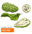 noni fruit color vector image vector image