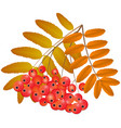 branch of rowan with fruits vector image
