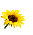Background with yellow sunflower vector image vector image