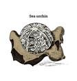 preserved sea urchin specimen fragment fossil vector image vector image