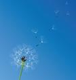 dandelion white vector image