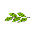 matcha green tea leaves or plant organic japanese vector image