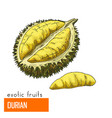 durian color vector image vector image