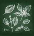 chalk sketch of basil vector image vector image