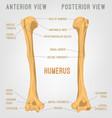 human humerus bone vector image vector image