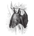 egyptian free tailed bat vintage vector image vector image