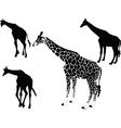 giraffe collection vector image