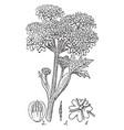 cow parsnip vintage vector image vector image