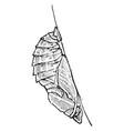 emperor butterfly pupa vintage vector image vector image