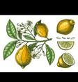 hand drawn citrus fruits - lemon branch sketch of vector image