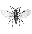 parasitic wasp vintage vector image vector image