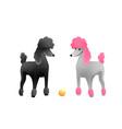 royal poodle dog show white and black poodles vector image
