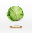 cabbage isolated on a white background vector image vector image