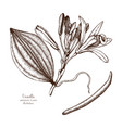 vanilla plant sketch vector image vector image