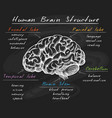 biology human brain structure on chalkboard vector image vector image