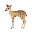 hand drawn duiker isolated on white background vector image