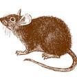 eared rat vector image vector image