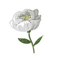 white peony flower isolated on white vector image