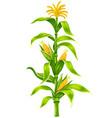 maize corn cobs on plant stem vector image