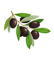 olive branch with black olives and green leaves vector image vector image