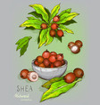 shea nuts plant berry fruit vector image vector image