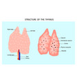 anatomy of the thymus gland vector image vector image