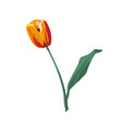 realistic flower tulip tulip in eps10 vector image