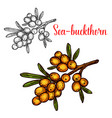 sea buckthorn sketch isolated icon vector image vector image