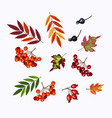 set of rowan viburnum berries and fall leaves on vector image