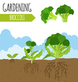 Garden Broccoli Plant growth vector image