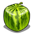 square watermelon isolated on white background vector image vector image