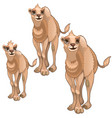 stages of growing brown camel animals vector image