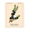 black crowberry empetrum nigrum edible and vector image vector image