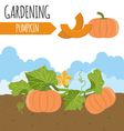 Garden Pumpkin Plant growth vector image
