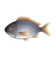 Dorada fish isolated on white vector image vector image