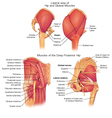 Muscles of deep posterior hip vector image vector image