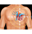 Human heart in close up diagram vector image