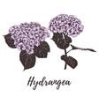 violet hydrangea hand drawing vector image vector image