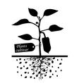 pepper cultivar vector image vector image
