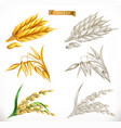ears of wheat oats rice 3d realism and engraving vector image