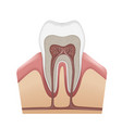 human tooth structure vector image