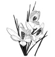 Sketch of Blooming Crocus Flowers vector image
