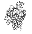 bunch grapes freehand pencil drawing vector image vector image