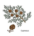 colorful drawing cypress branch concept vector image