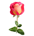 Pink yellow rose vector image