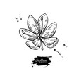 saffron flower drawing hand drawn herb and vector image