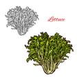 lettuce sketch salad icon vector image