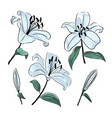 lilies flowers botanical drawing isolated vector image vector image