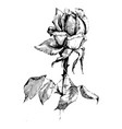 rose ink drawing flowers vector image vector image