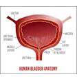 bladder anatomy image vector image